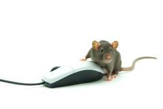 Rat Royalty Free Stock Photo
