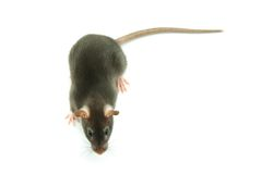Rat Royalty Free Stock Photography