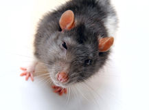 The rat Royalty Free Stock Photos