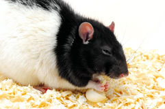 The rat Stock Photography