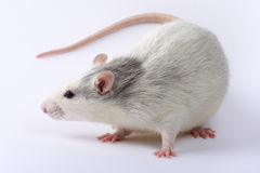 Rat. White Rat on white background Royalty Free Stock Images