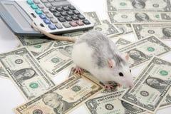 Rat accountant Royalty Free Stock Photos