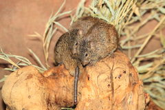 Rat africain d'herbe Photos libres de droits