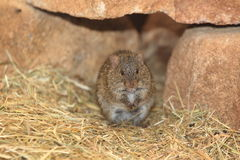 Rat africain d'herbe Photo stock