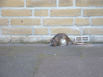 Rat. A rat  against a brick wall, looking straight into the camera. the picture shows a real rat, not a mouse, like most pictures do Royalty Free Stock Photos