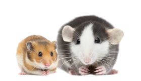 Free Rat And Hamster Stock Photography - 164568182
