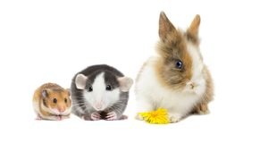 Free Rat And Hamster And Rabbit Stock Photo - 164568640