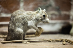 Rat animal eating bread food Royalty Free Stock Images