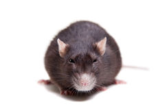 Rat, 3 ans sur le blanc Photo stock