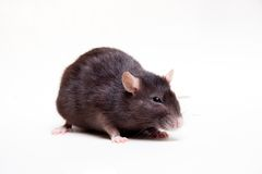 Rat, 3 ans sur le blanc Photo libre de droits
