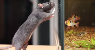Rat and aquarium Royalty Free Stock Photo