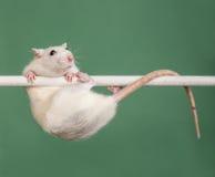 Rat athlete Stock Photo