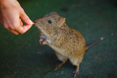 Rat in Australia Royalty Free Stock Photography