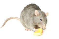 Rat avec du fromage Image libre de droits