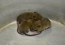 Rat baby. 3 Rat baby brown of Group Stock Photo