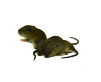 Rat baby on a white background Stock Images