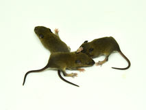 Rat baby on a white background. 3 Rat baby brown on a white background Stock Image