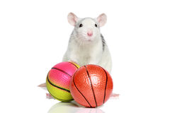 Rat with balls Stock Image