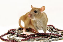Rat with beads Stock Images