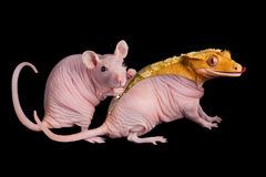 Rat Becomes Lizard Royalty Free Stock Photo