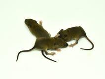 Rat behandla som ett barn på en vit bakgrund Fotografering för Bildbyråer