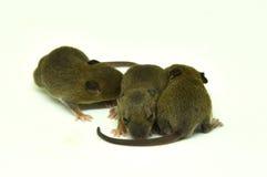 Rat behandla som ett barn på en vit bakgrund Royaltyfri Bild