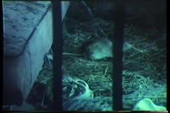 Rat behind bars crawling under mattress
