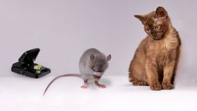 Rat Between Cat And Mousetrap Stock Photography