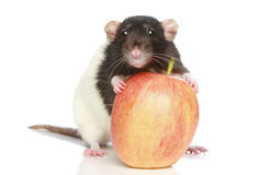 Rat with a big apple Royalty Free Stock Photo