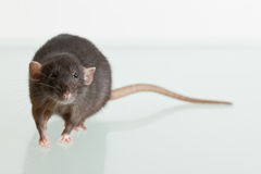 Rat with a big tail Stock Photos