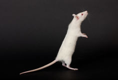 Rat on a black background Stock Images