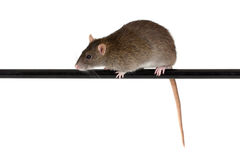 Rat on black pole Royalty Free Stock Photography