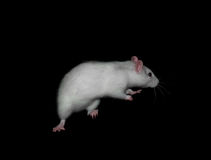 Rat blanc Images stock