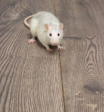 Rat blanc Image libre de droits