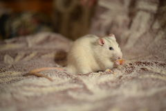 Rat blanc Photo stock