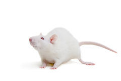 Rat blanc de laboratoire sur le blanc Photographie stock