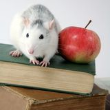 Rat on books with apple. Close-up of rat on a stack of books with apple Royalty Free Stock Photo