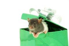 Rat in box Royalty Free Stock Photo