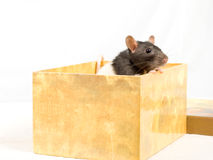 Rat in a box. Rat in a box, on a white background Royalty Free Stock Photo