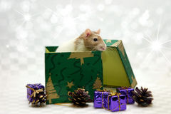 Rat in box. A rat sitting inside a giftbox, Christmas theme Stock Images
