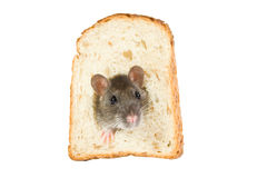 Rat in bread hole. Curious rat looking through hole in sandwich bread Stock Image