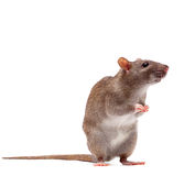 Rat brun domestique mignon Photos libres de droits