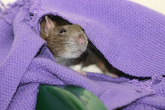 Rat brun mignon se cachant sous la couverture Photos libres de droits