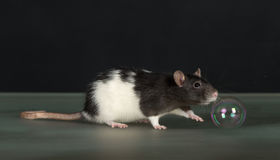 Rat and bubble Stock Images