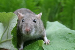 Rat on a Burdock Leaf. The Rat out enjoying a day in the country Stock Photo