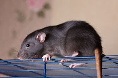 Rat on a cage Stock Photo