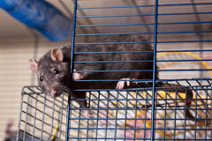 Rat in a cage Royalty Free Stock Images