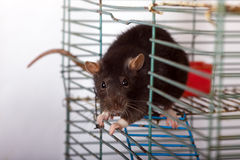 Rat in a cage Royalty Free Stock Photography