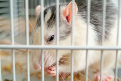 Rat in cage Stock Photo