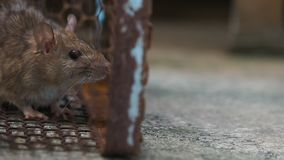 Rat in a cage catching a rat. the mouse has contagion the disease to humans such as Leptospirosis, Plague. Homes and dwellings sho stock footage
